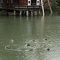 写真: 内橋亭とカモ くるくる^^  霞ヶ池