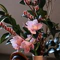 シンビジウム ピンクネコヤナギ 椿の蕾