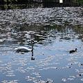 奥卯辰山 健民公園 池の白鳥とカモ お友達?