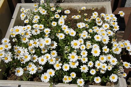 マーガレットの花壇