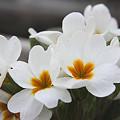 Photos: 20120327花いろいろ04