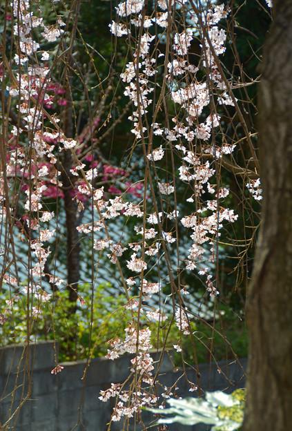 Photos: したたる春