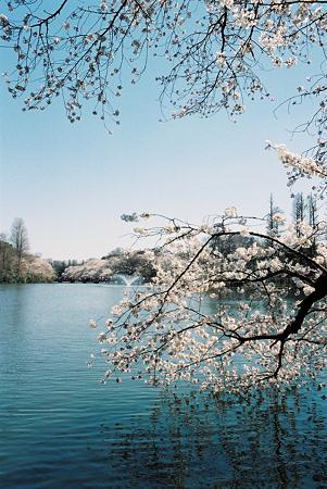 om1_桜_03