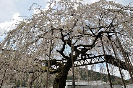 三重県大紀町天然記念物の枝垂れ桜・2