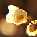 1月17日 冬の花(蝋梅)