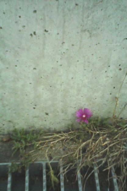 一輪の花×gizmon HALF D