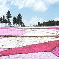 <秩父・羊山公園*芝桜の丘 in 2005>