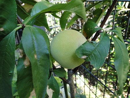 桃が実った