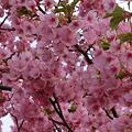 河津桜!満開也!!